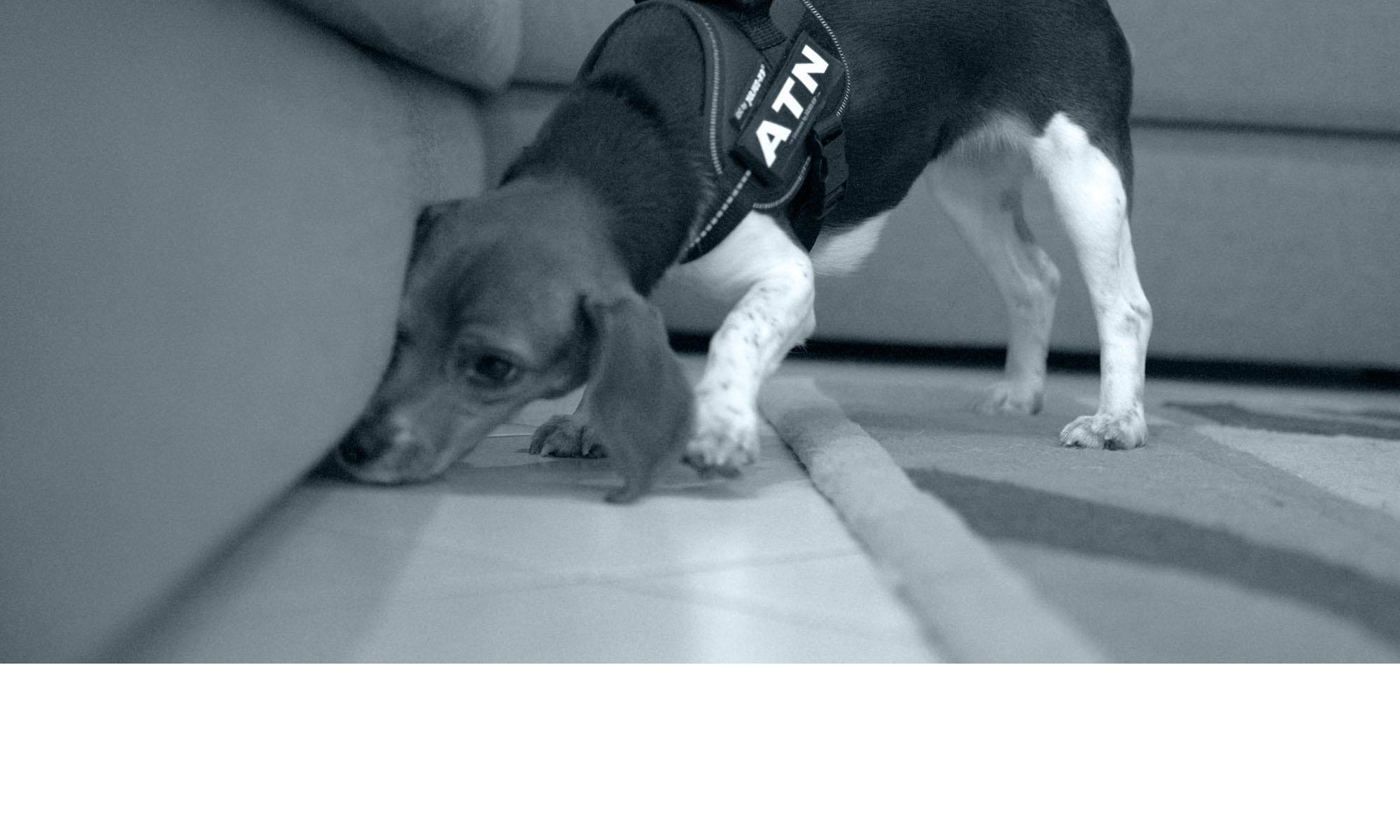 ATN : Détection canine de punaises de lit